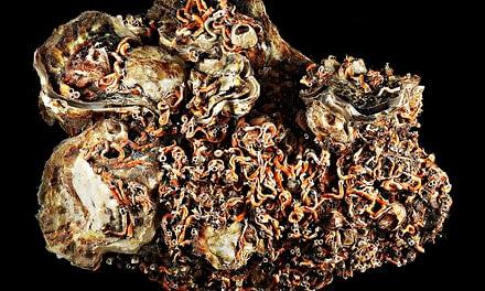 Métodos para reduzir o número de organismos sobre as conchas de ostras