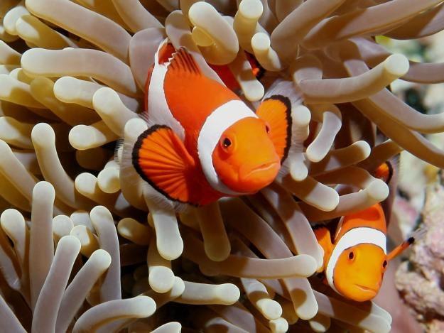 Tendências de mercado e os impactos ambientais associados à coleta de peixes ornamentais marinhos