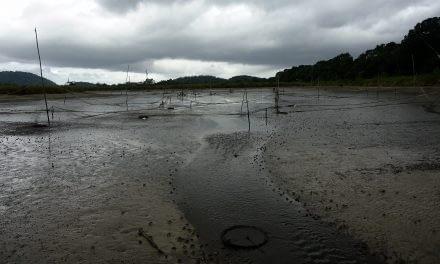 Procedimentos realizados durante a despesca de camarões cultivados em viveiros