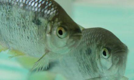 Utilização de peixes como bioindicadores