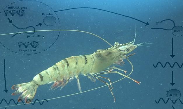 Micro(RNA)s de camarão: uma ferramenta antiviral e antitumoral