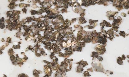Que perigos as ostras podem representar aos consumidores?