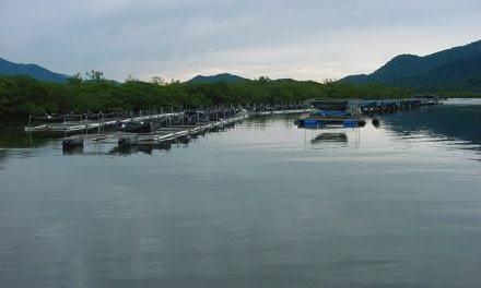 Primeiras tentativas de cultivo de camarões em tanques-rede no Brasil