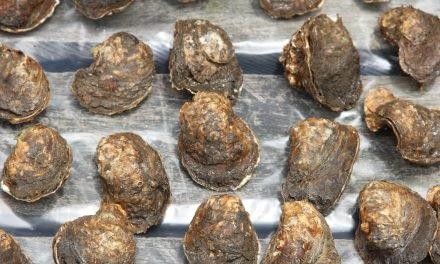 Produzindo ostras saudáveis