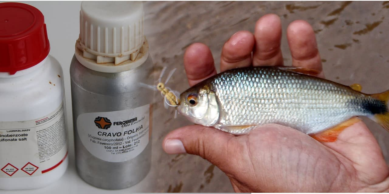 O uso de anestésicos no manejo de peixes