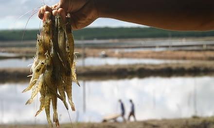 Ferramentas para o controle e prevenção de doenças na carcinicultura