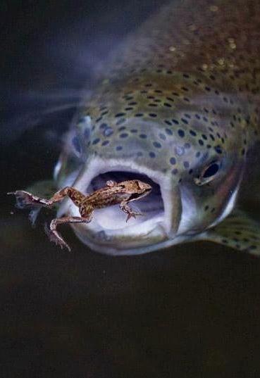6-_Fig_Foto_salmon_eating_frog.jpg