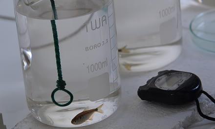 Uso do MS222 e do Propofol como anestésico para lambaris (Astyanax altiparanae)