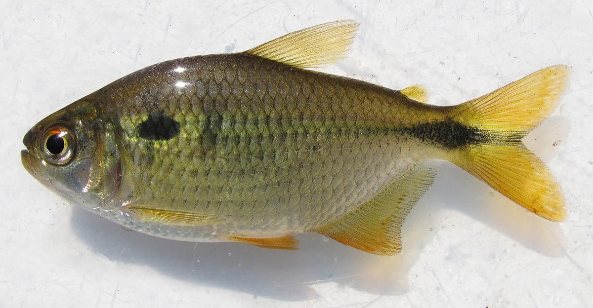 Efeitos da amônia em peixes neotropicais