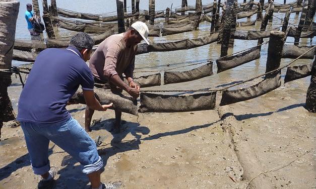 Perfil microbiológico de ostras cultivadas no Paraná e na região Nordeste
