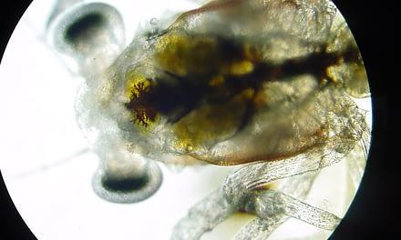 Larvas de caranguejos produzidas em laboratório X  larvas selvagens