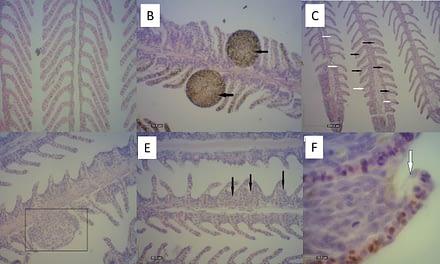 A histologia como ferramenta de análise em estudos de alterações branquiais em peixes