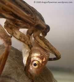 Insetos aquáticos (ninfas e libélulas) na piscicultura