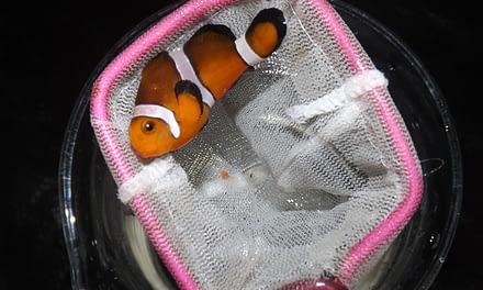 Uso de óleos essenciais como anestésicos para peixes-palhaços