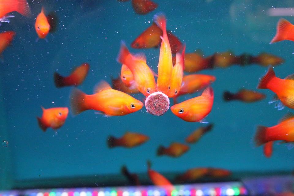 Sistemas de alimentação inteligentes na piscicultura