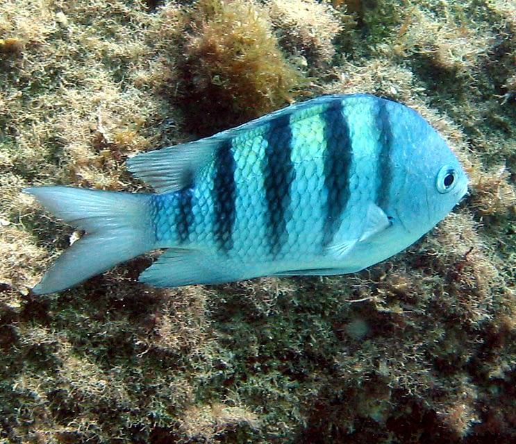 A legislação como ferramenta para a conservação de peixes marinhos ornamentais.