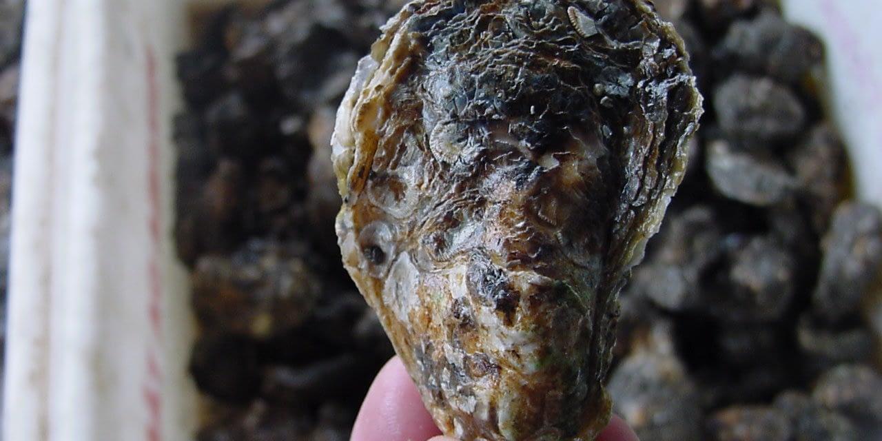 Variação sazonal da abundância de larvas de ostras na baía de Guaratuba