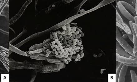 Rações contaminadas por micotoxinas: um problema na produção de peixes e camarões